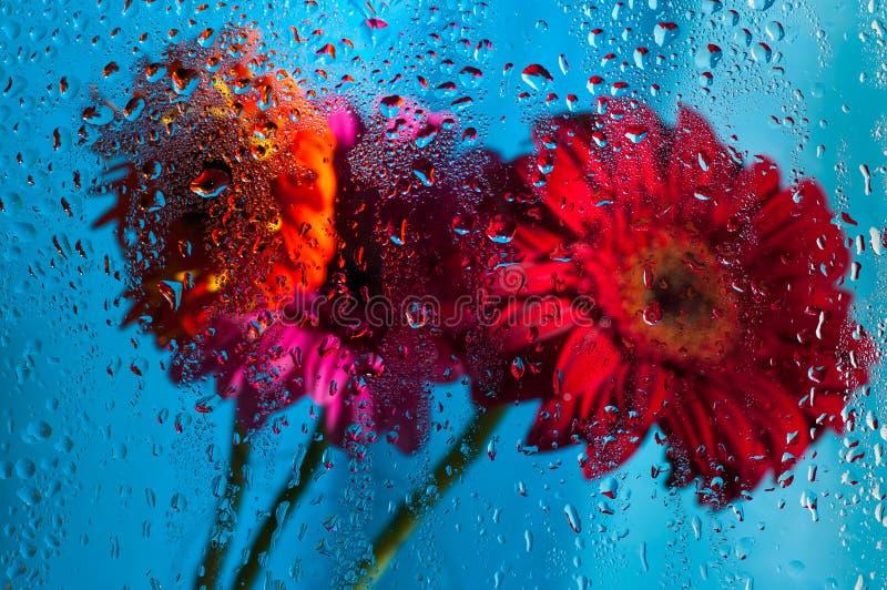 Nahaufnahme auf rosa Gerberagänseblümchenblume hinter nassem lizenzfreie stockfotografie