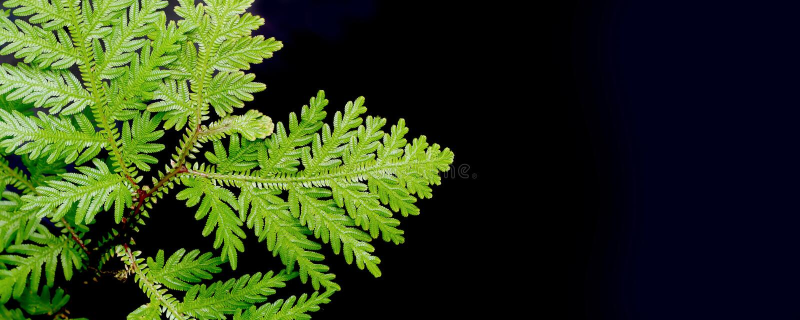 Nahaufnahme auf seltener Art des Selaginellafarns lizenzfreies stockbild