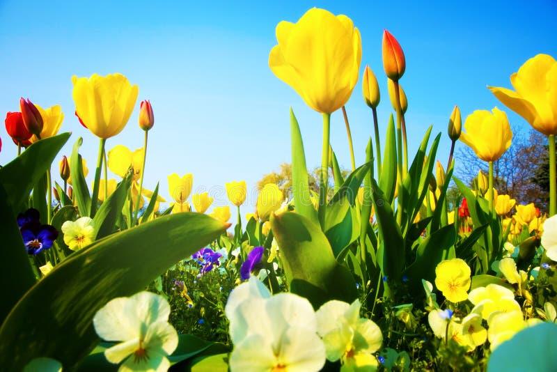 Nahaufnahme auf vielen bunten frischen Tulpeblumen stockbilder