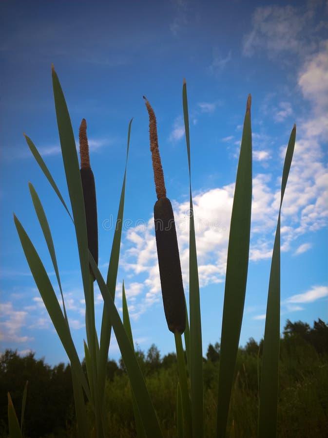 Nahaufnahme-Binse, Cattail auf schönem Hintergrund des blauen Himmels stockbild