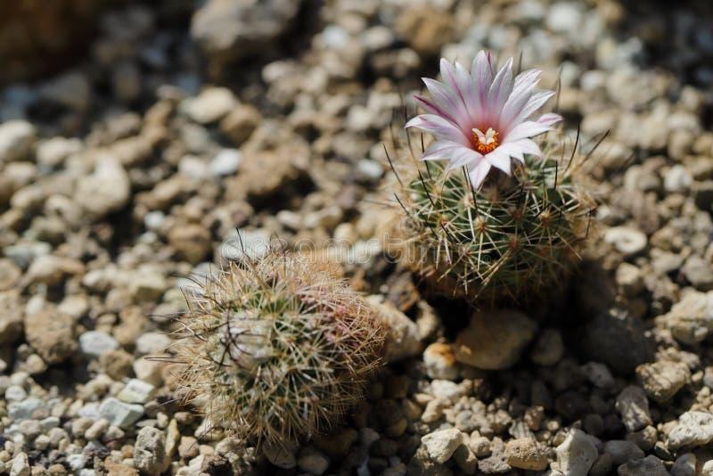 Nahaufnahme blühender Kaktuspflanze Rosa mit scharfen Dornen lizenzfreies stockfoto