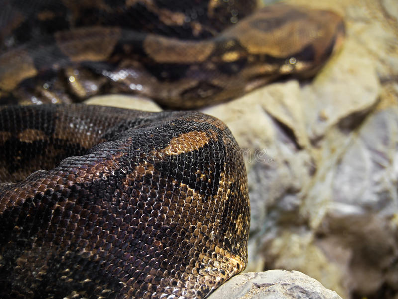 Nahaufnahme-Boa constrictor auf dem Felsen stockfotos