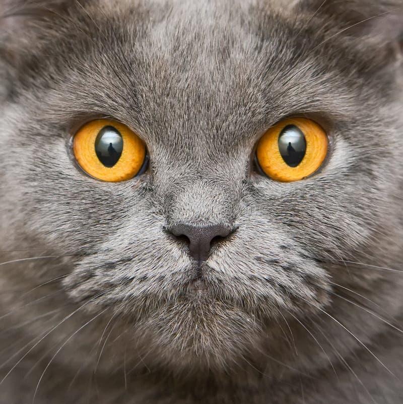 Nahaufnahme-Briten-Katze lizenzfreies stockfoto