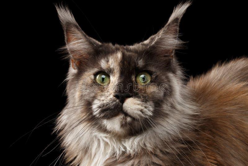 Nahaufnahme Brown Maine Coon Cat Looks Surprised lokalisiert auf Schwarzem lizenzfreie stockfotos