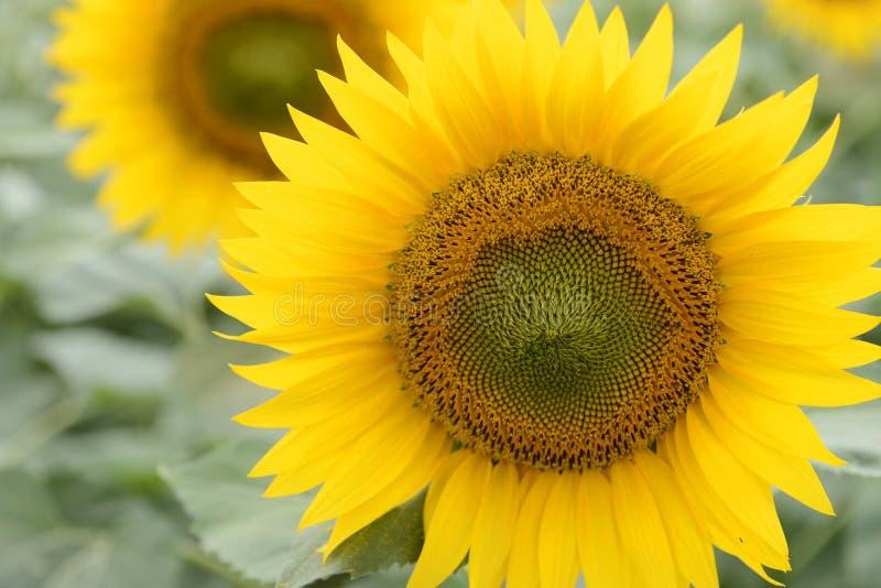 Nahaufnahme der allgemeinen Sonnenblume stockfotografie
