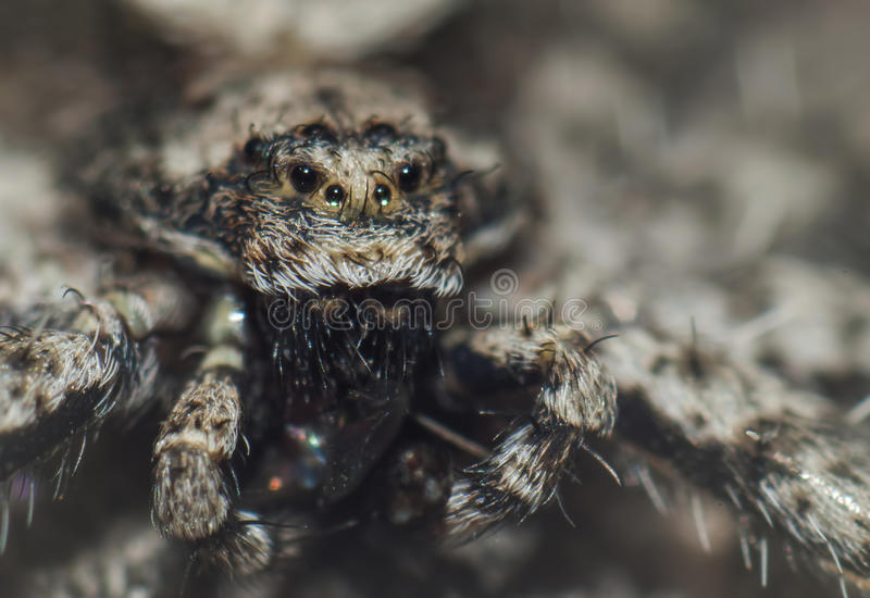 Nahaufnahme der alten schauenden Spinne lizenzfreie stockfotografie