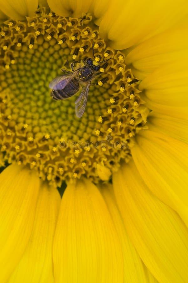 Nahaufnahme der Biene auf Sonnenblume lizenzfreie stockbilder