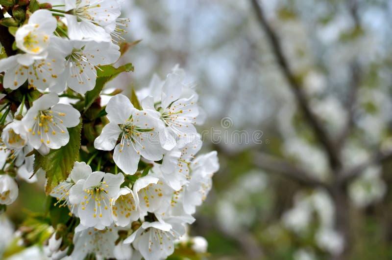 Nahaufnahme der blühenden Kirschbaumniederlassung lizenzfreie stockfotografie