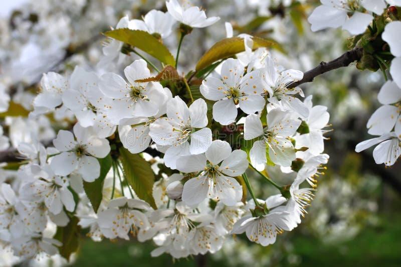 Nahaufnahme der blühenden Kirschbaumniederlassung lizenzfreie stockbilder