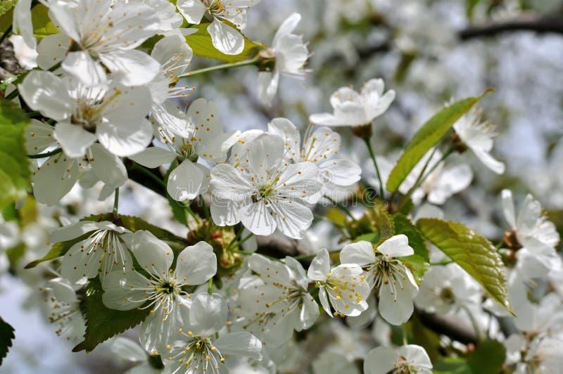 Nahaufnahme der blühenden Kirschbaumniederlassung stockfotografie