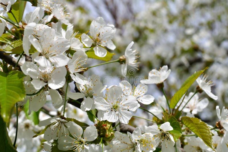Nahaufnahme der blühenden Kirschbaumniederlassung lizenzfreies stockfoto