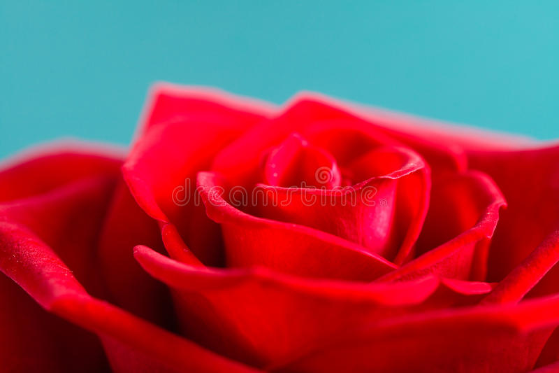 Nahaufnahme der blühenden Rotrosenblume auf Blau lizenzfreie stockfotos