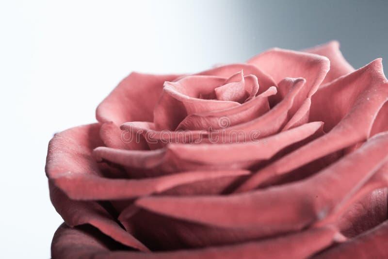 Nahaufnahme der blühenden Rotrosenblume auf Grau stockfotos