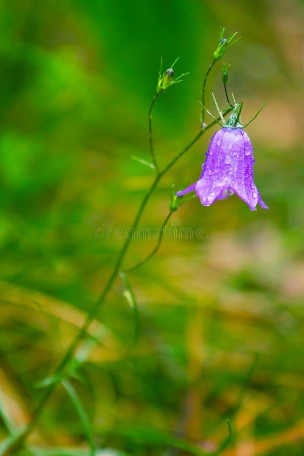 Nahaufnahme der blauen Glockenblume stockfotografie