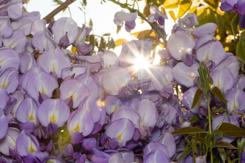 Nahaufnahme der Blumen einer Glyzinie stockfotografie