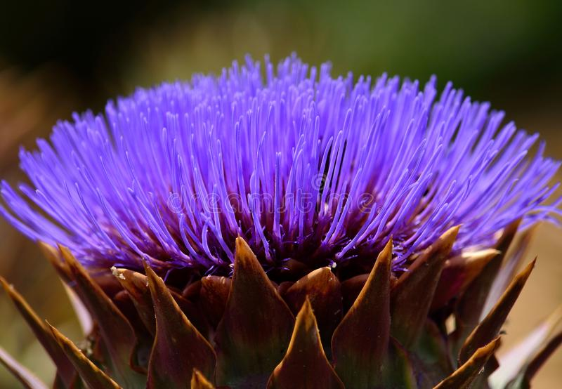 Nahaufnahme der bunten Artischockenblume lizenzfreies stockfoto