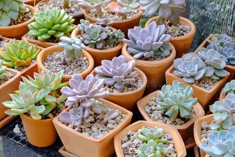 Nahaufnahme der bunten Succulentskindertagesstätte stockfotos