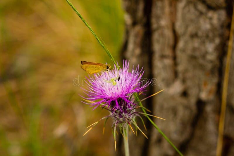 Nahaufnahme der Carduusbetriebsblume mit Schmetterling, Käfer und Spinne lizenzfreies stockbild