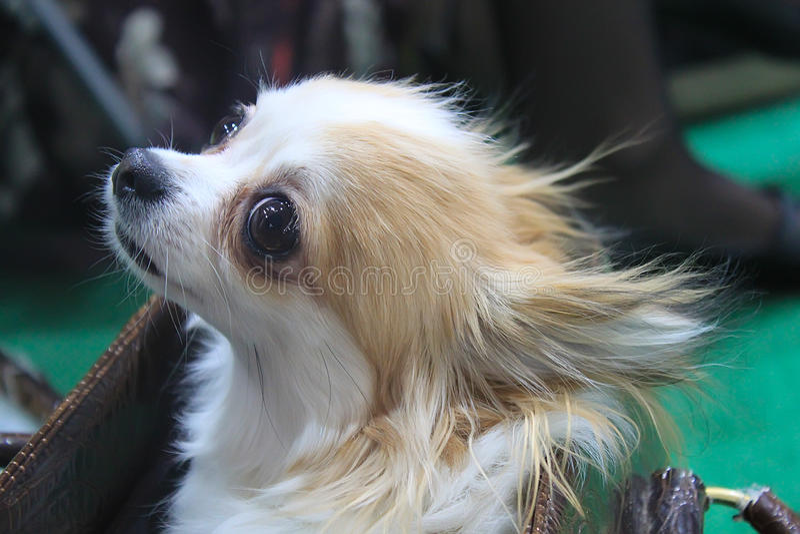 Nahaufnahme der Chihuahua stockfotos