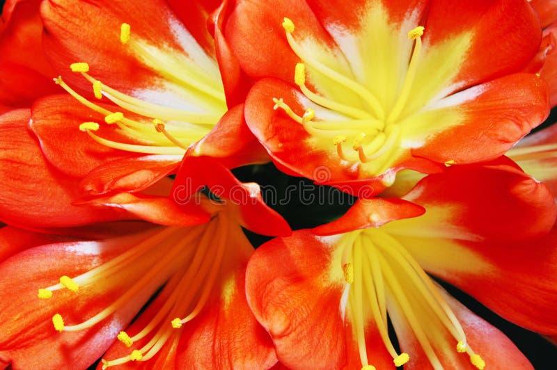 Nahaufnahme der clivia Blume stockbild