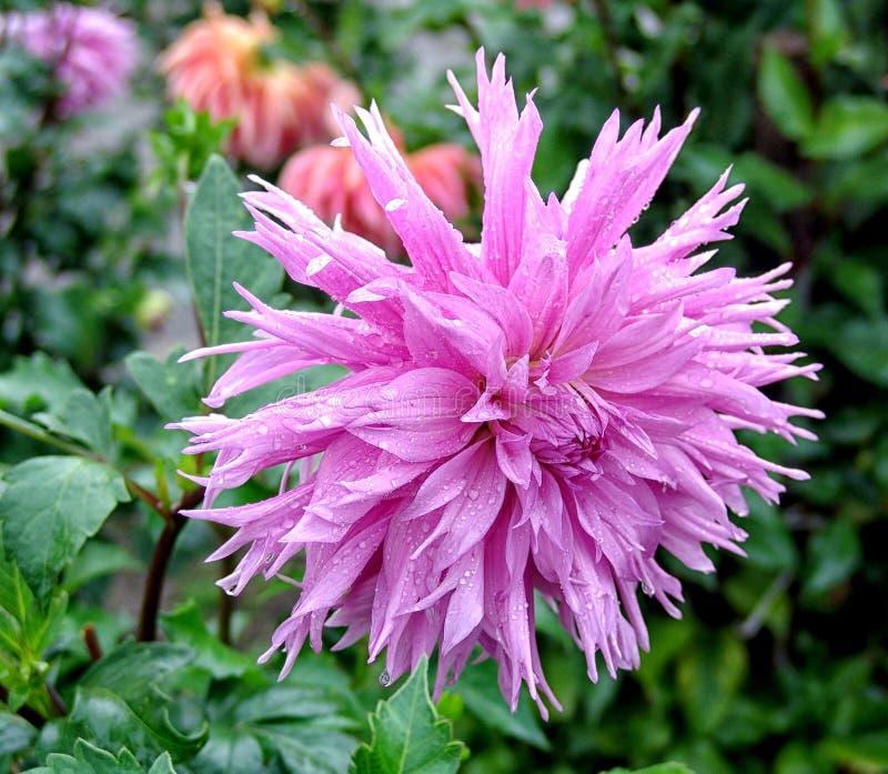 Nahaufnahme der Dahlie im Garten - die Blume ist in voller Blüte mit den Blumenblättern in den Farbtönen von rosa und von Rotem z stockbild