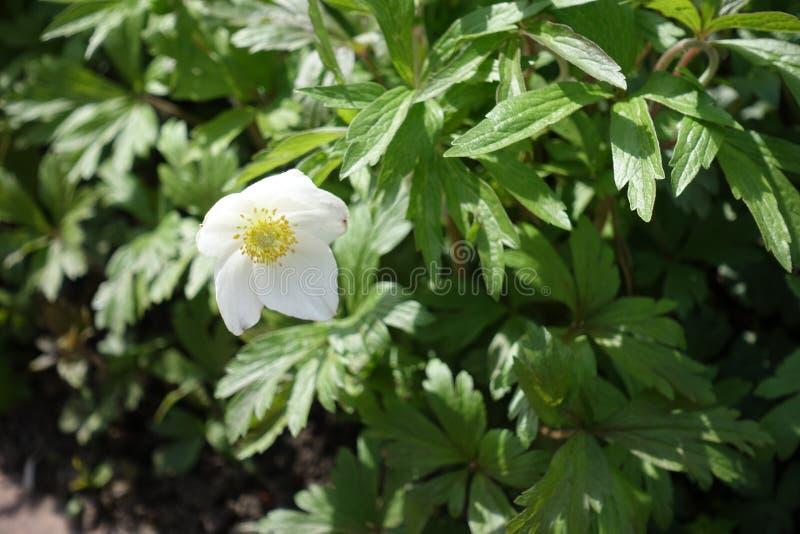Nahaufnahme der einzelnen Blume der Anemone lizenzfreie stockbilder