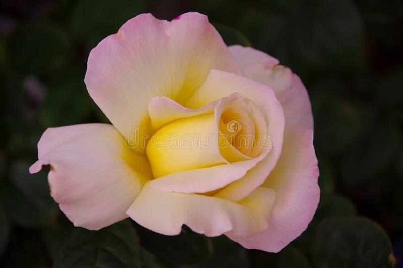 Nahaufnahme der einzelnen rosafarbenen Blüte mit Rosa und Gelb erröten auf dunklem Hintergrund lizenzfreies stockfoto