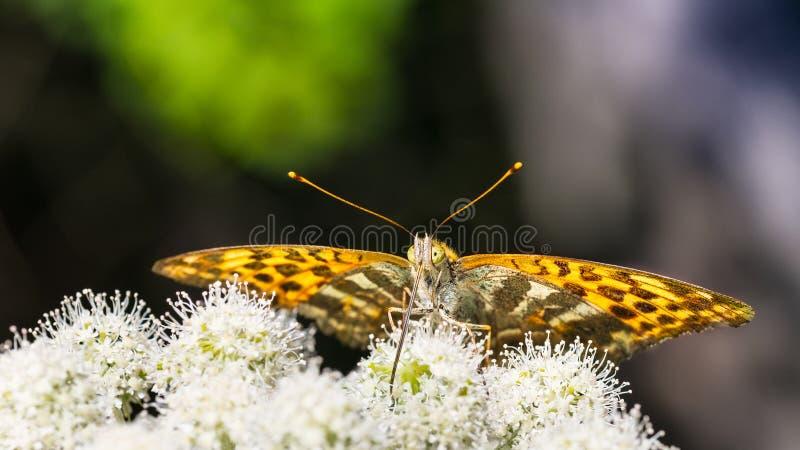 Nahaufnahme der Fütterungsschmetterlingsunterseite auf goutweed Blume Argynnis paphia Aaegopodium-podagraria lizenzfreie stockfotografie