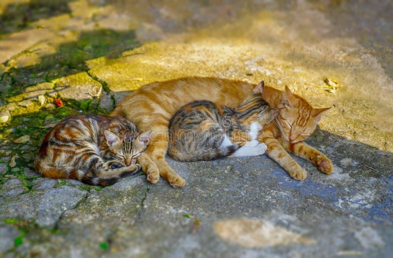 Nahaufnahme der flaumigen Mutterkatze des Ingwers, die mit ihren K?tzchen mit zwei Babys auf dem Boden liegt Pflasterung, Gehweg stockfotos