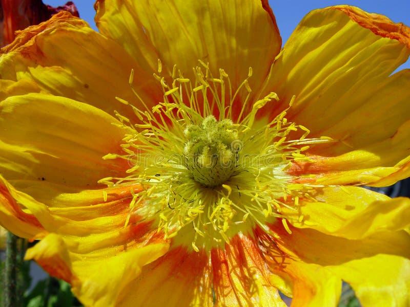Nahaufnahme Der Gelben Mohnblume Lizenzfreie Stockbilder