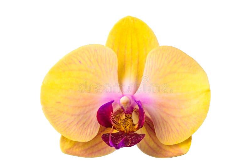 Nahaufnahme der gelben Phalaenopsisorchideenblume stockbilder