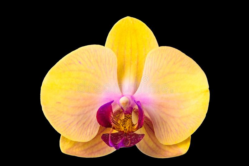 Nahaufnahme der gelben Phalaenopsisorchideenblume stockfotografie