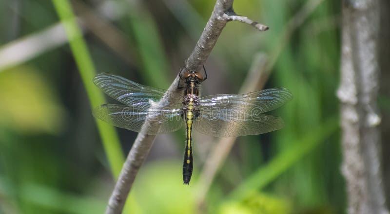 Nahaufnahme der gelben und schwarzen Libelle stockfotos