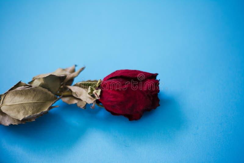 Nahaufnahme der getrockneten roten Rose auf dem blauen Hintergrund stockbild
