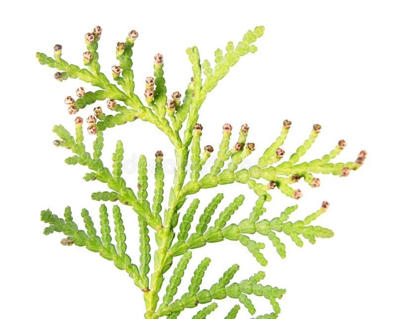 Nahaufnahme der grünen Niederlassung von Arborvitae oder von Thuja occidentalis mit dem männlichen Kegel lokalisiert auf weißem H stockfotografie