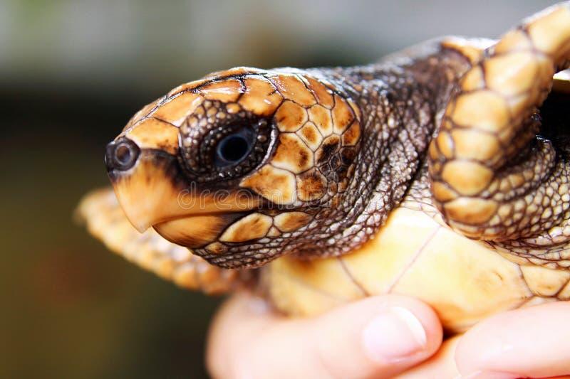 Nahaufnahme der kleinen schwarzen Babyschildkröte gehalten durch menschliche Hände am Koggala-Meeresschildkrötebauernhof und am B stockfotografie