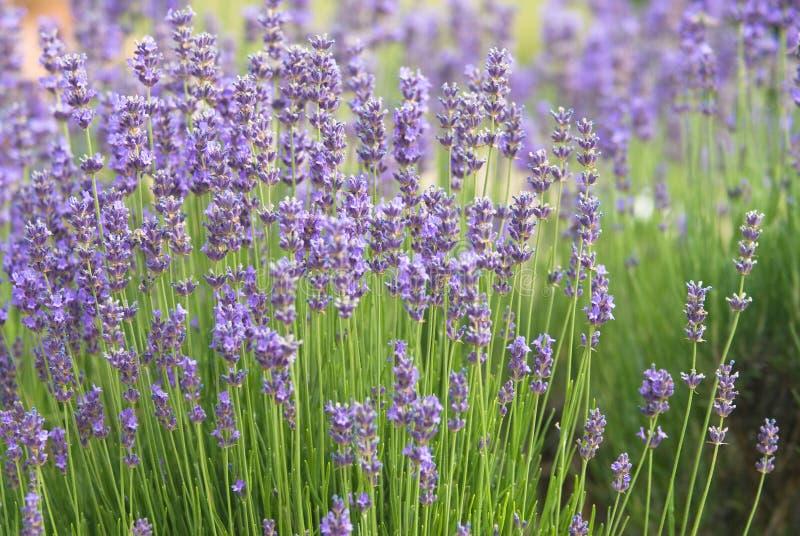 Nahaufnahme der Lavendel lizenzfreies stockfoto
