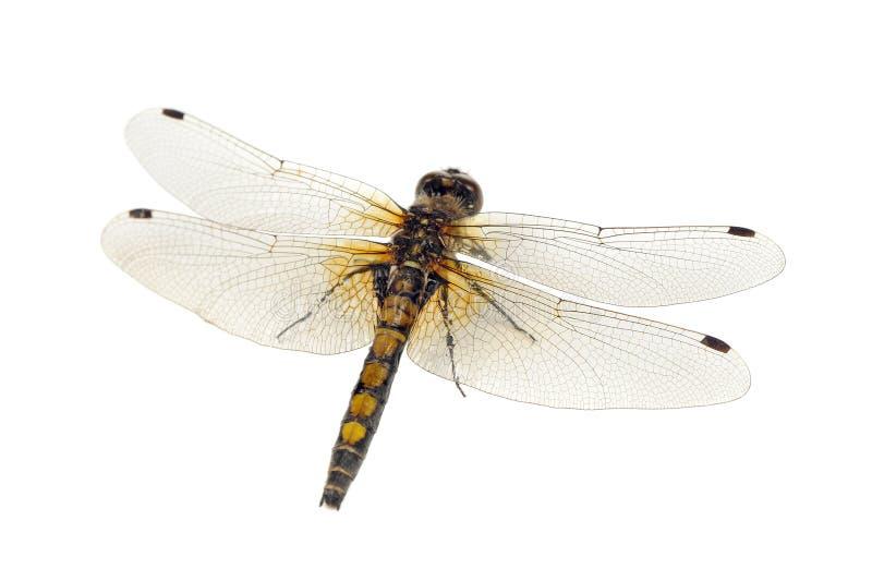 Nahaufnahme der Libellen-(Gelb-beschmutztes Whiteface) lokalisiert auf weißem Hintergrund lizenzfreies stockfoto