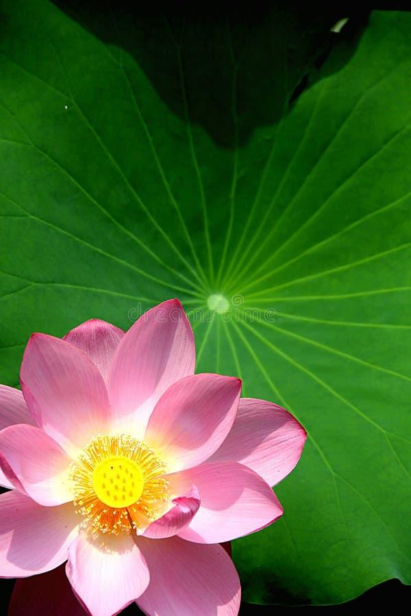 Nahaufnahme der Lotus-Blume stockfotos