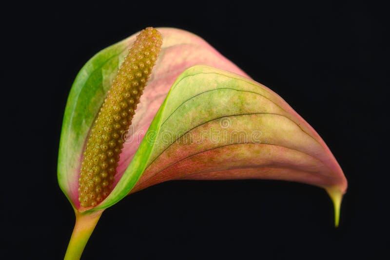 Nahaufnahme der Mehrfarbenblütenschweifflamingoblume auf dem schwarzen Hintergrund stockbilder