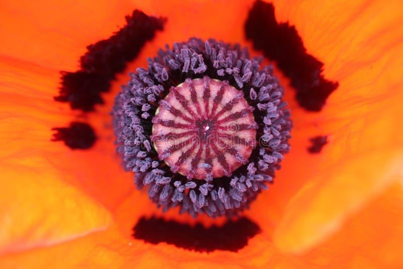 Nahaufnahme der Mitte einer roten Mohnblume lizenzfreies stockfoto