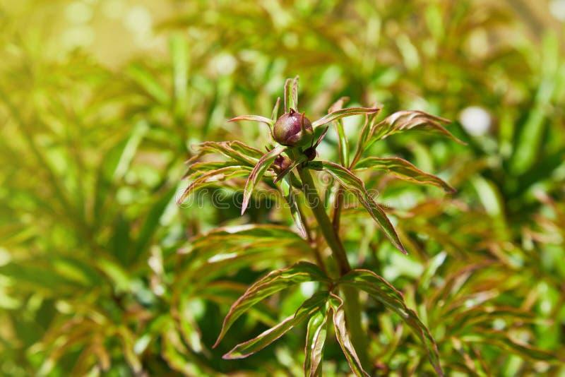Nahaufnahme der Pfingstrosenknospe in der Burgunder-Pfingstrosenblume der roten Pfingstrose des Gartens Makro- stockfoto
