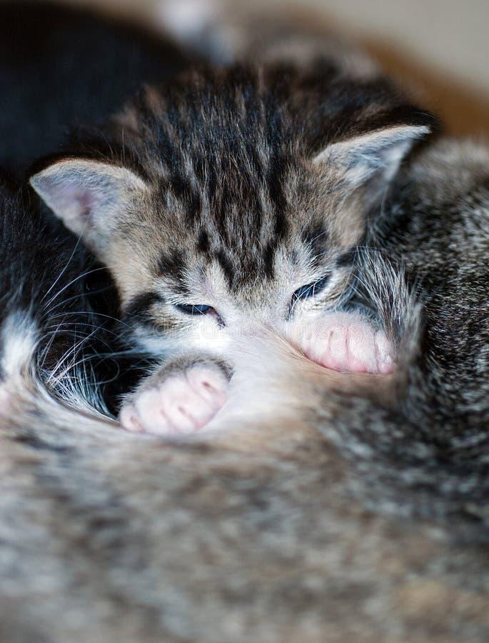 Nahaufnahme der Pflege von kurzhaarigem Brown Tabby Kitten lizenzfreie stockbilder