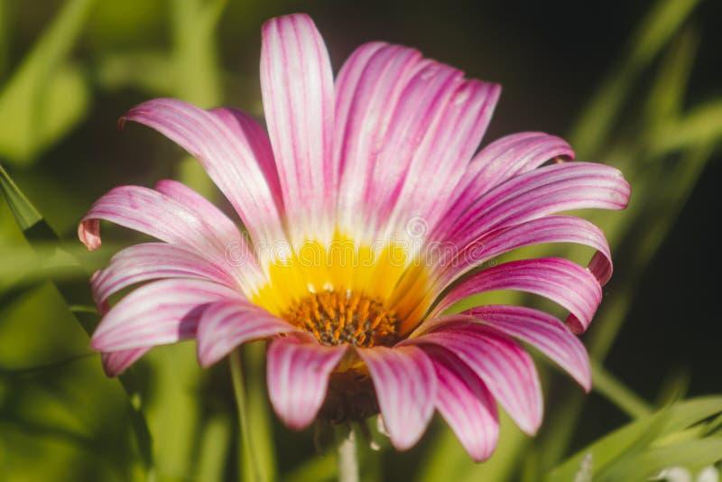 Nahaufnahme der purpurroten und gelben Gänseblümchenblume lizenzfreie stockfotos