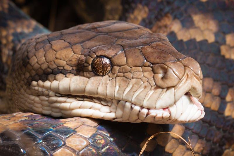 Nahaufnahme der Pythonschlangenschlange stockfotos