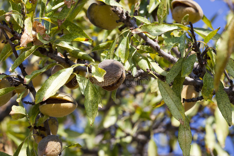 Nahaufnahme der reifen Mandel trägt auf einem Baum Früchte lizenzfreies stockbild
