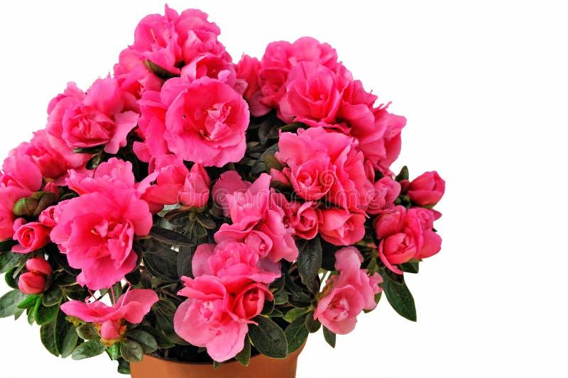 Nahaufnahme der rosa Azalee lokalisiert auf weißem Hintergrund stockfoto