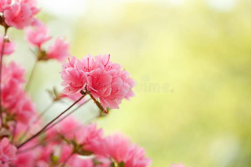 Rosa Azaleen in einem Frühlingsgarten stockfotos