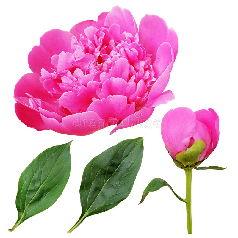 Nahaufnahme der rosa Pfingstrosenblume, -knospe und -blätter stockfotos