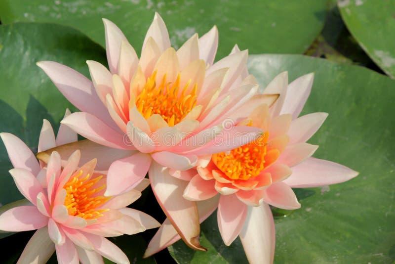 Nahaufnahme der rosa Seerose stockbild